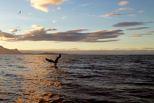 Photo of White-tailed Eagle ( Haliaeetus albicilla) catching a fish - captured with iPhone 5 camera