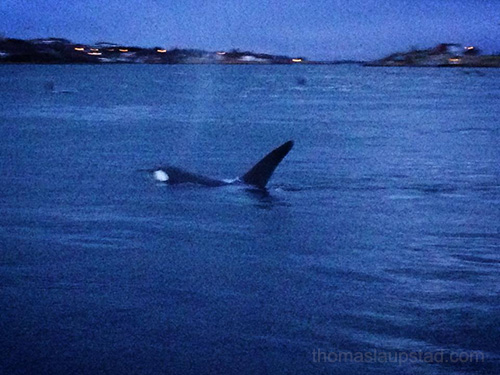 Killer Whales (Orca) hunting herring close to shore at Hamn in Senja, Northern Norway